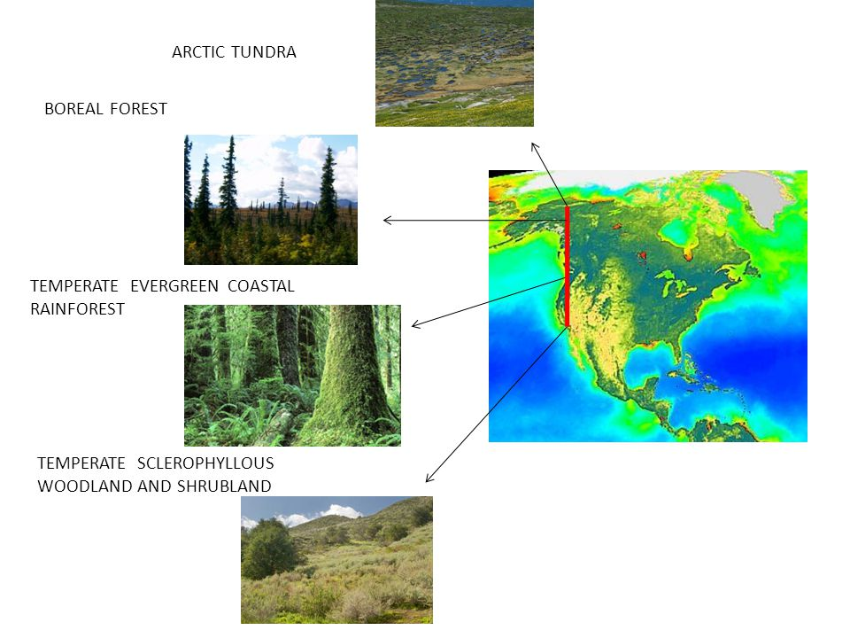 ARCTIC TUNDRA BOREAL FOREST. TEMPERATE EVERGREEN COASTAL RAINFOREST.