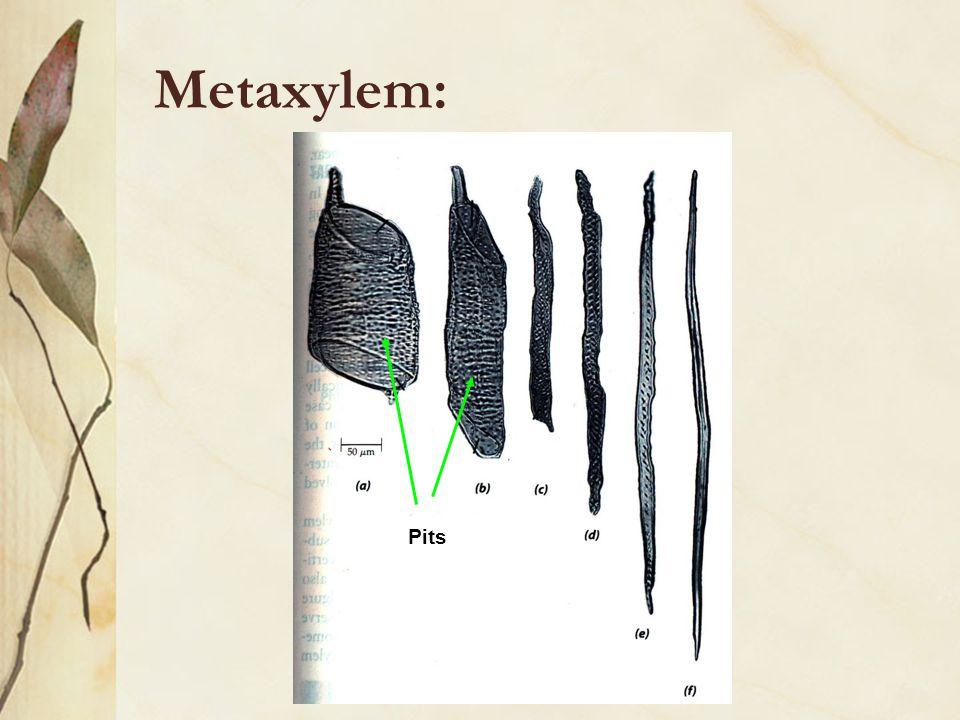 Metaxylem: Pits