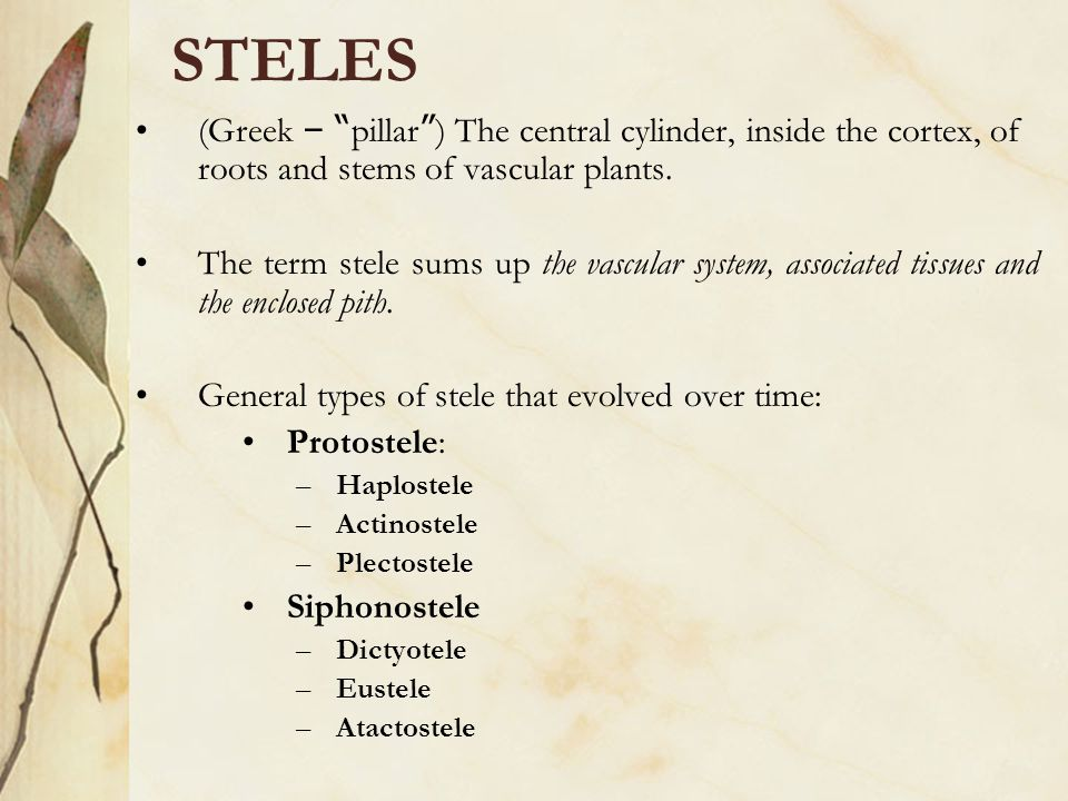 STELES (Greek – pillar ) The central cylinder, inside the cortex, of roots and stems of vascular plants.