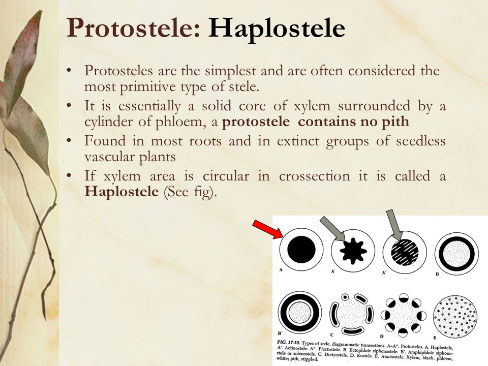 Protostele: Haplostele