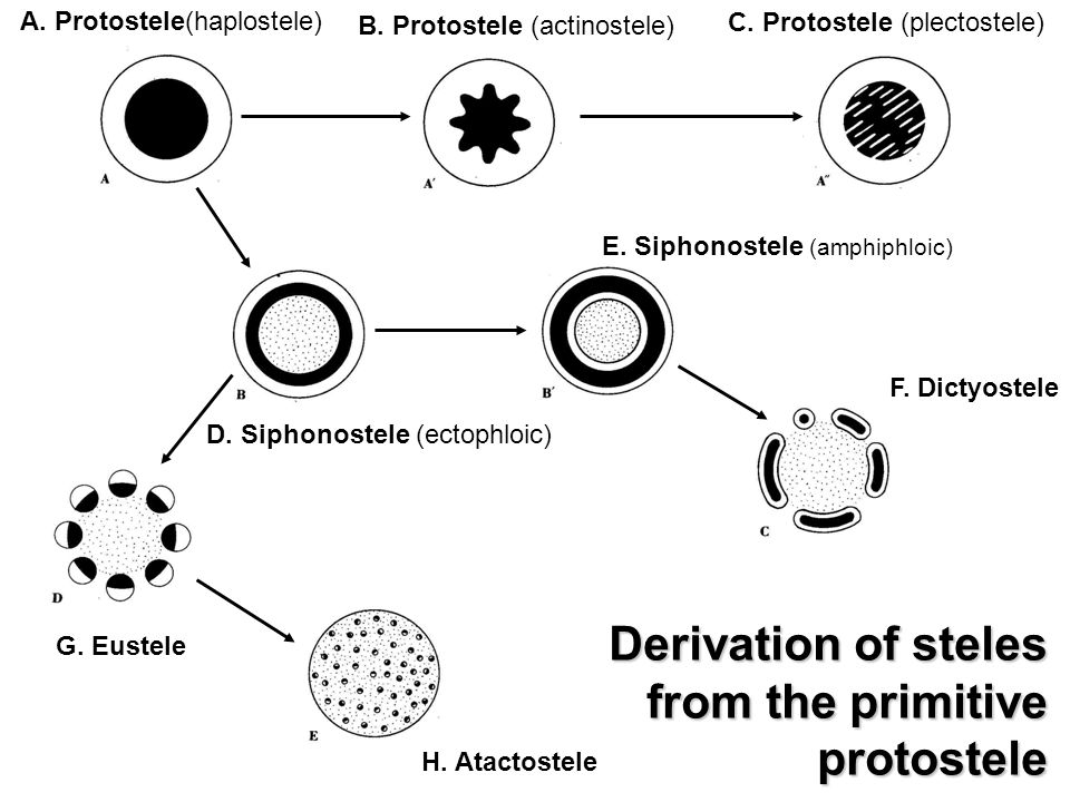 B. Protostele (actinostele)
