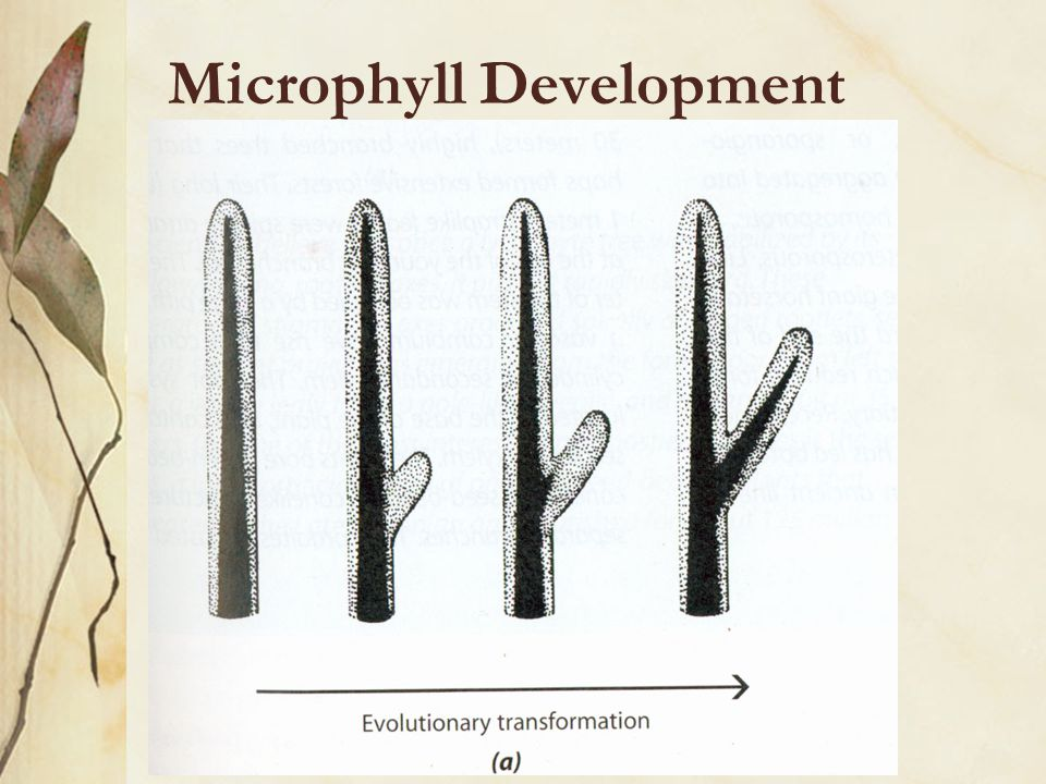 Microphyll Development