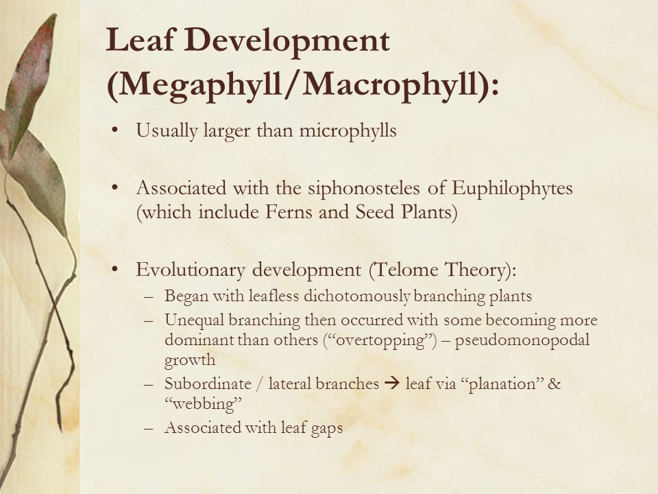 Leaf Development (Megaphyll/Macrophyll):