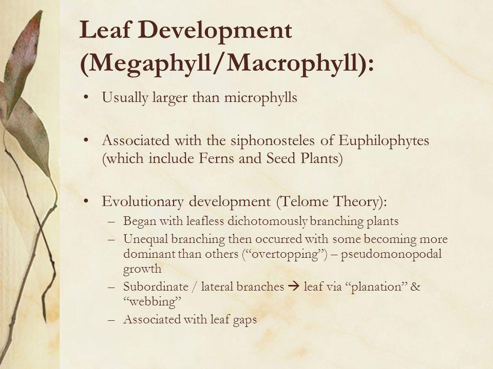 Leaf Development (Megaphyll/Macrophyll):