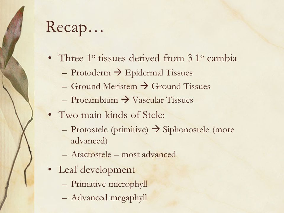 Recap… Three 1o tissues derived from 3 1o cambia