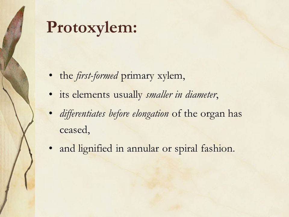 Protoxylem: the first-formed primary xylem,