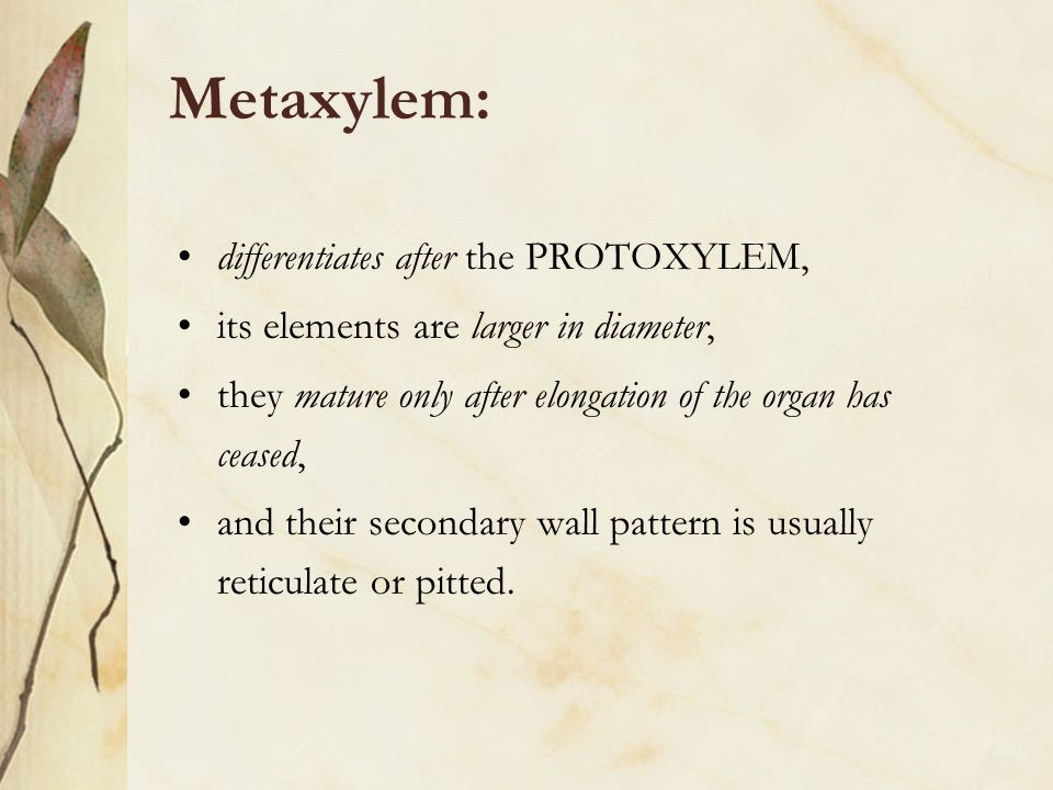 Metaxylem: differentiates after the PROTOXYLEM,