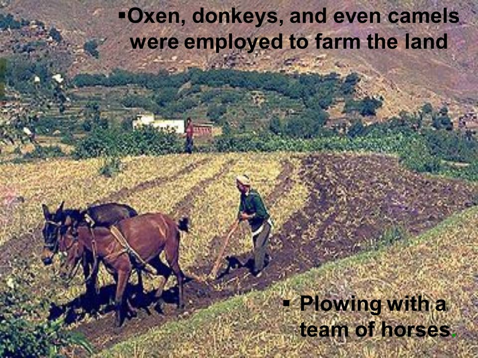 Oxen, donkeys, and even camels were employed to farm the land