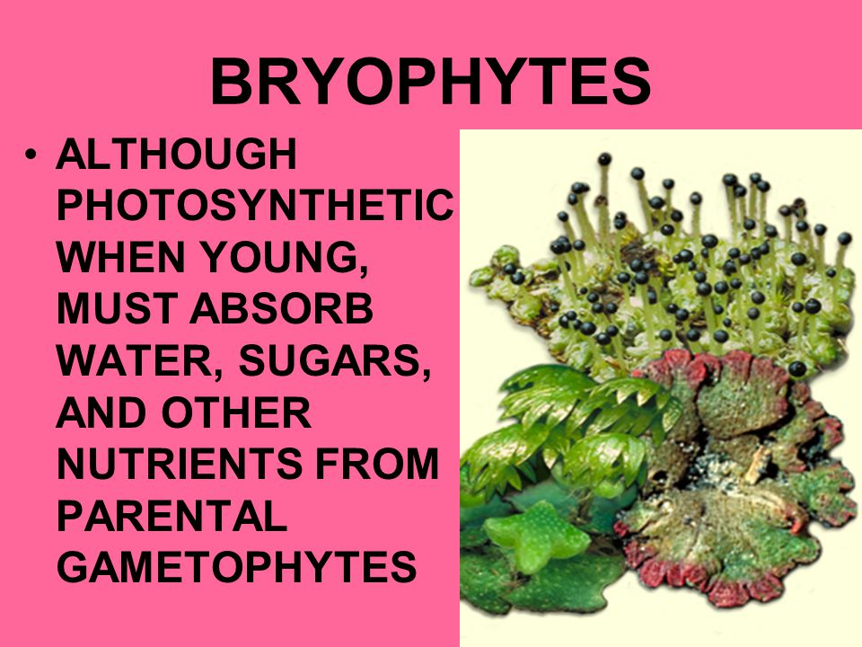 BRYOPHYTES ALTHOUGH PHOTOSYNTHETIC WHEN YOUNG, MUST ABSORB WATER, SUGARS, AND OTHER NUTRIENTS FROM PARENTAL GAMETOPHYTES.
