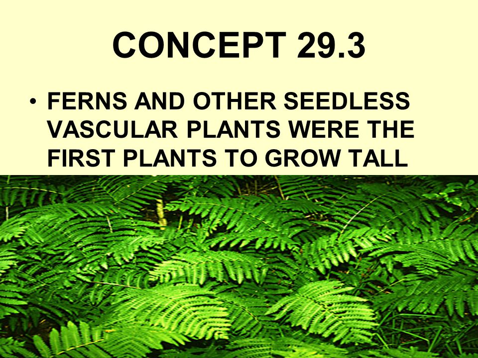 CONCEPT 29.3 FERNS AND OTHER SEEDLESS VASCULAR PLANTS WERE THE FIRST PLANTS TO GROW TALL