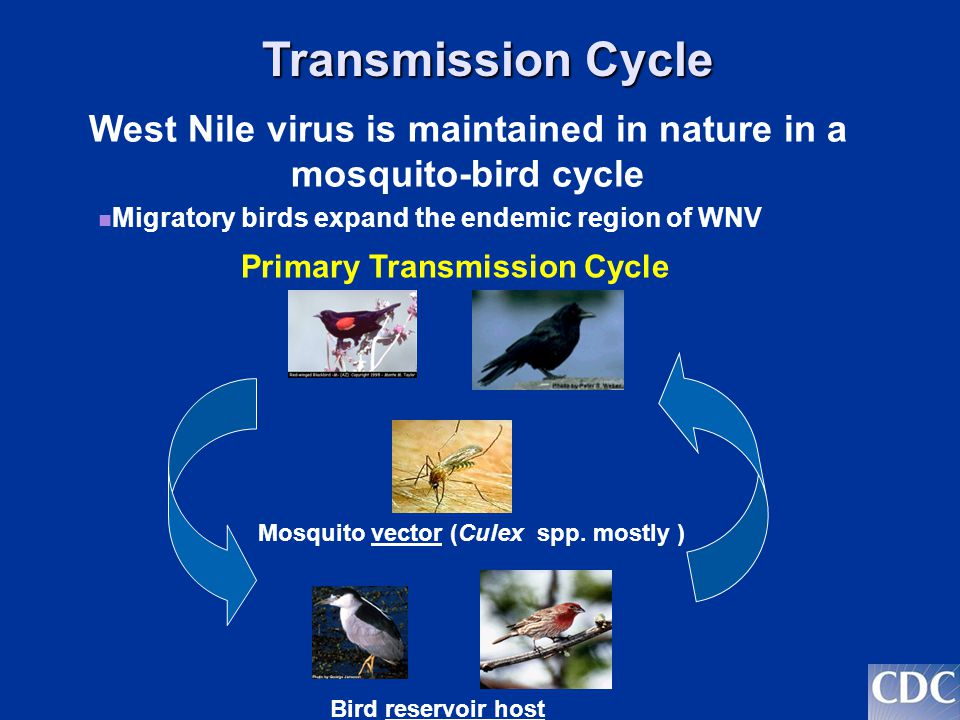 West Nile virus is maintained in nature in a mosquito-bird cycle