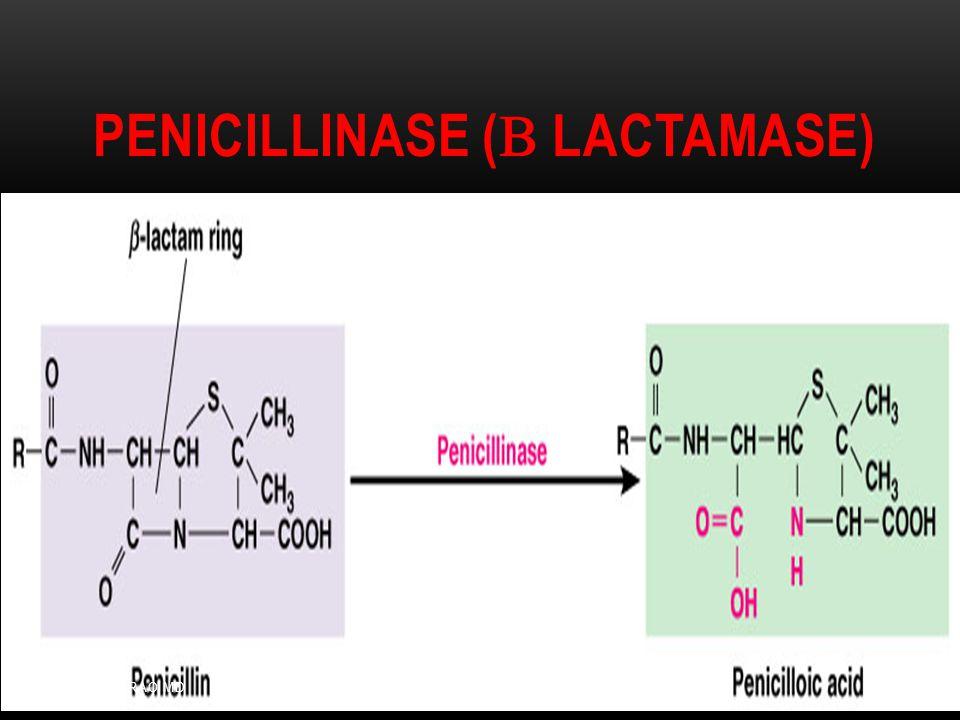 Penicillinase (b Lactamase)