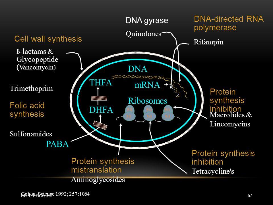 DNA THFA mRNA Ribosomes DHFA PABA DNA-directed RNA polymerase