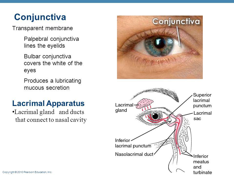 Conjunctiva Lacrimal secretion (tears) Lacrimal Apparatus