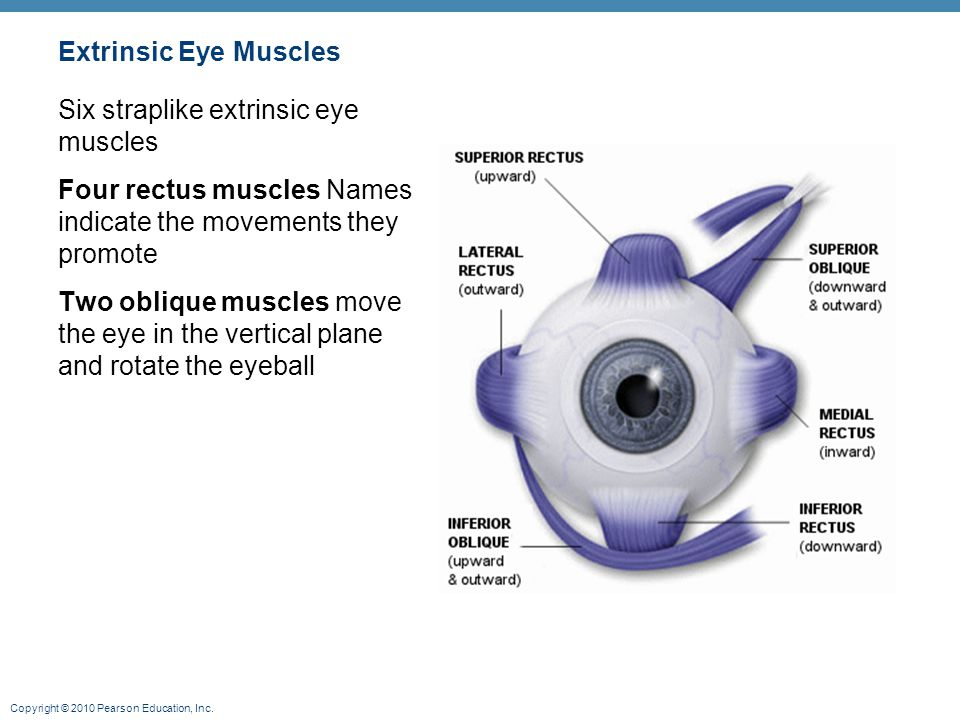 Originate from the bony orbit Enable the eye to follow moving objects