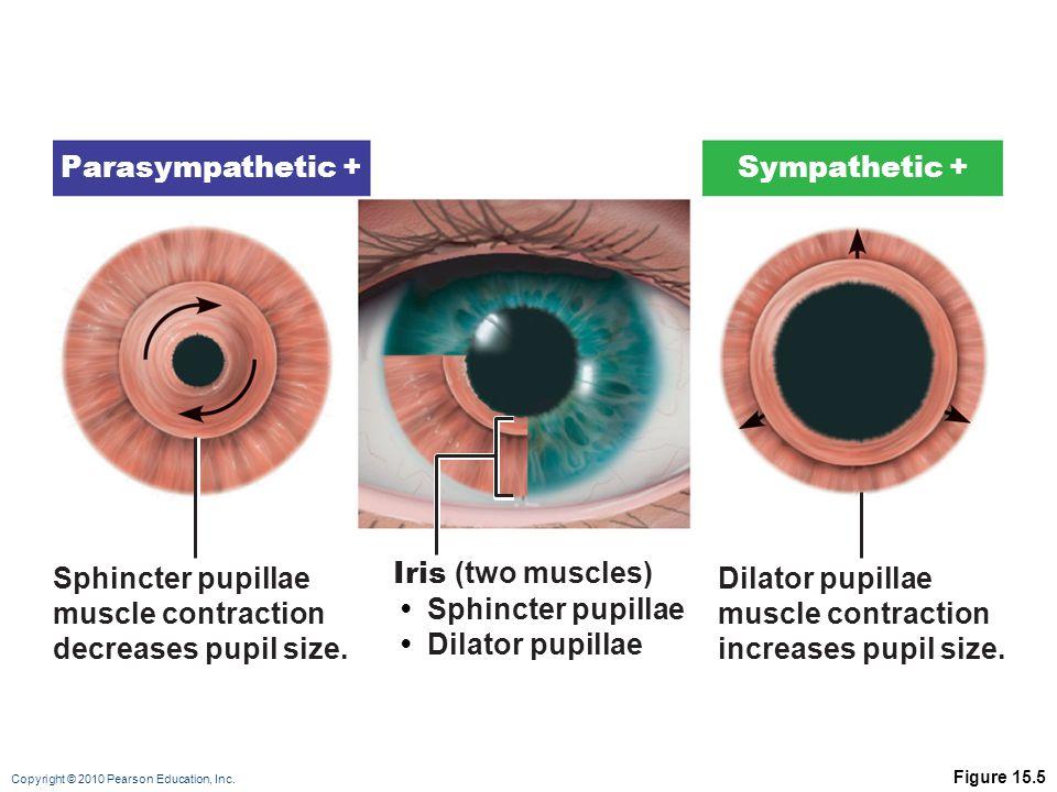 Parasympathetic + Sympathetic + Sphincter pupillae muscle contraction