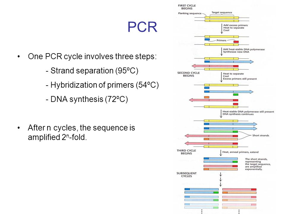 PCR One PCR cycle involves three steps: - Strand separation (95ºC)