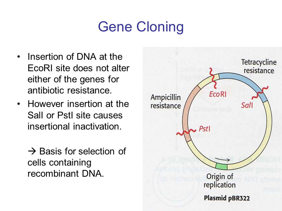 Gene Cloning Insertion of DNA at the EcoRI site does not alter either of the genes for antibiotic resistance.