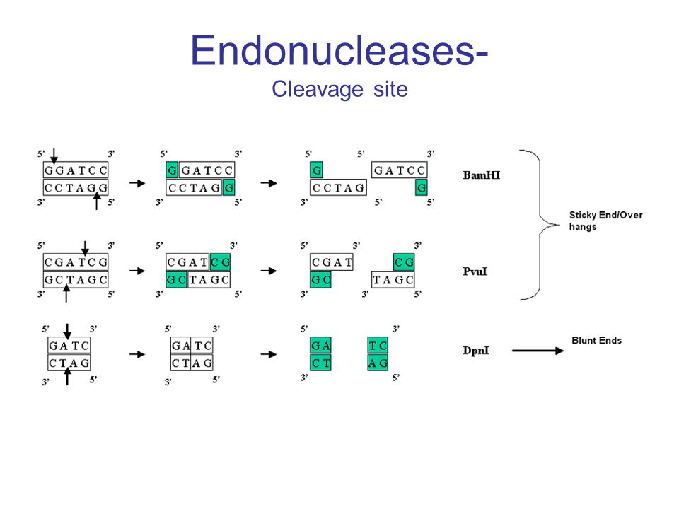 Endonucleases- Cleavage site