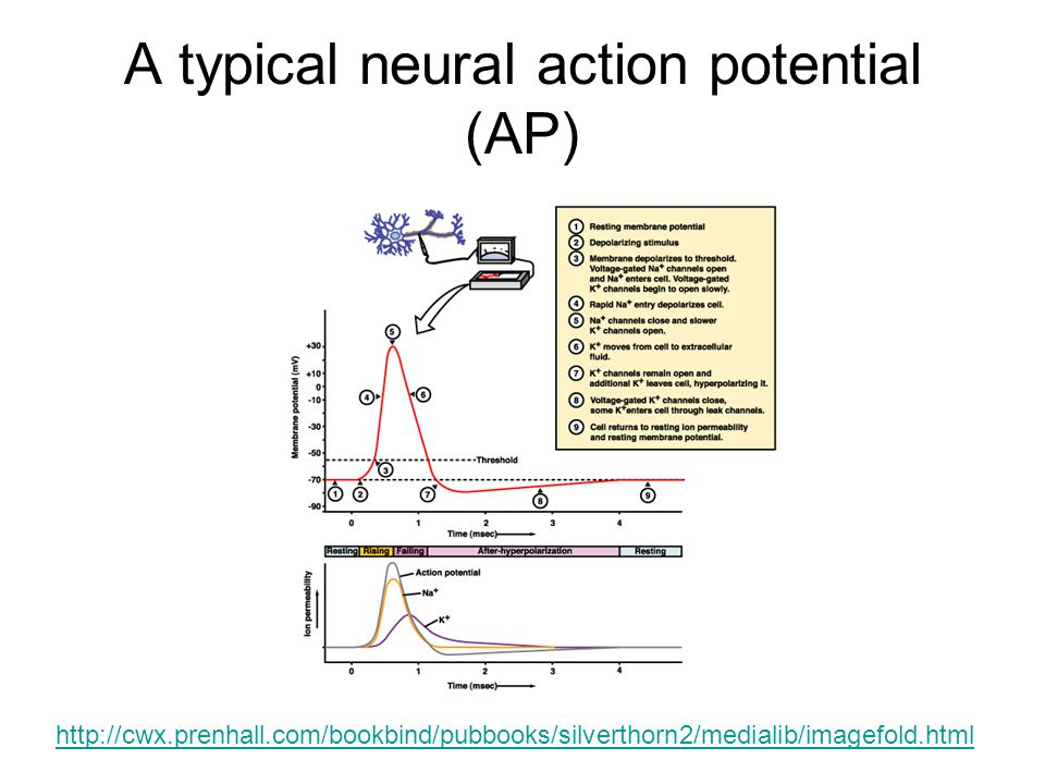 A typical neural action potential (AP)