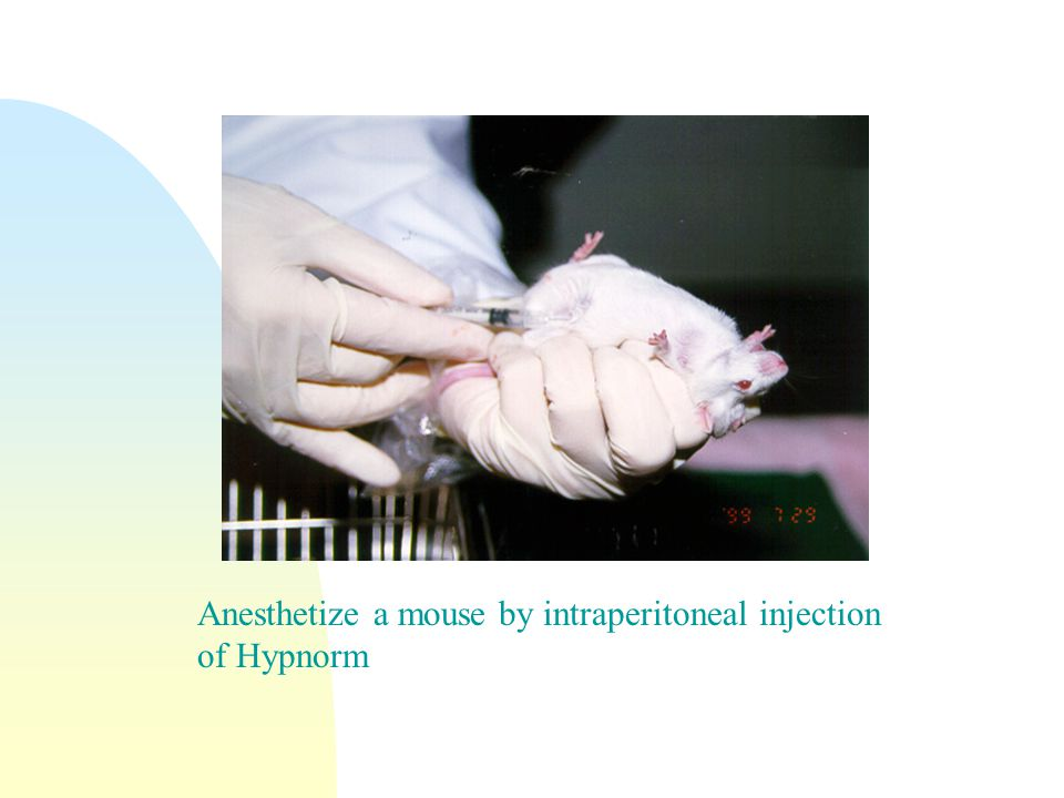 Anesthetize a mouse by intraperitoneal injection of Hypnorm