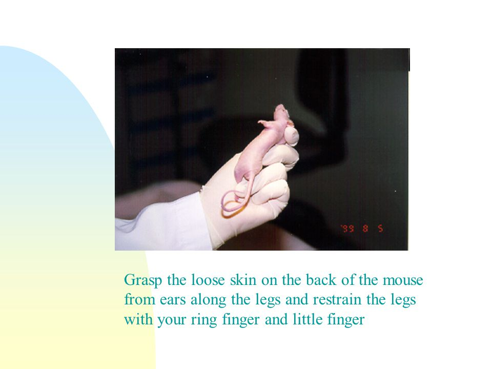 Grasp the loose skin on the back of the mouse from ears along the legs and restrain the legs with your ring finger and little finger