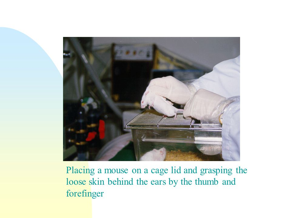Placing a mouse on a cage lid and grasping the loose skin behind the ears by the thumb and forefinger