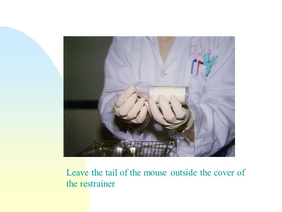 Leave the tail of the mouse outside the cover of the restrainer