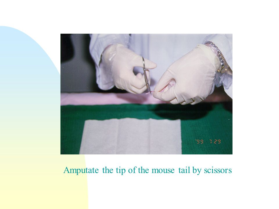 Amputate the tip of the mouse tail by scissors