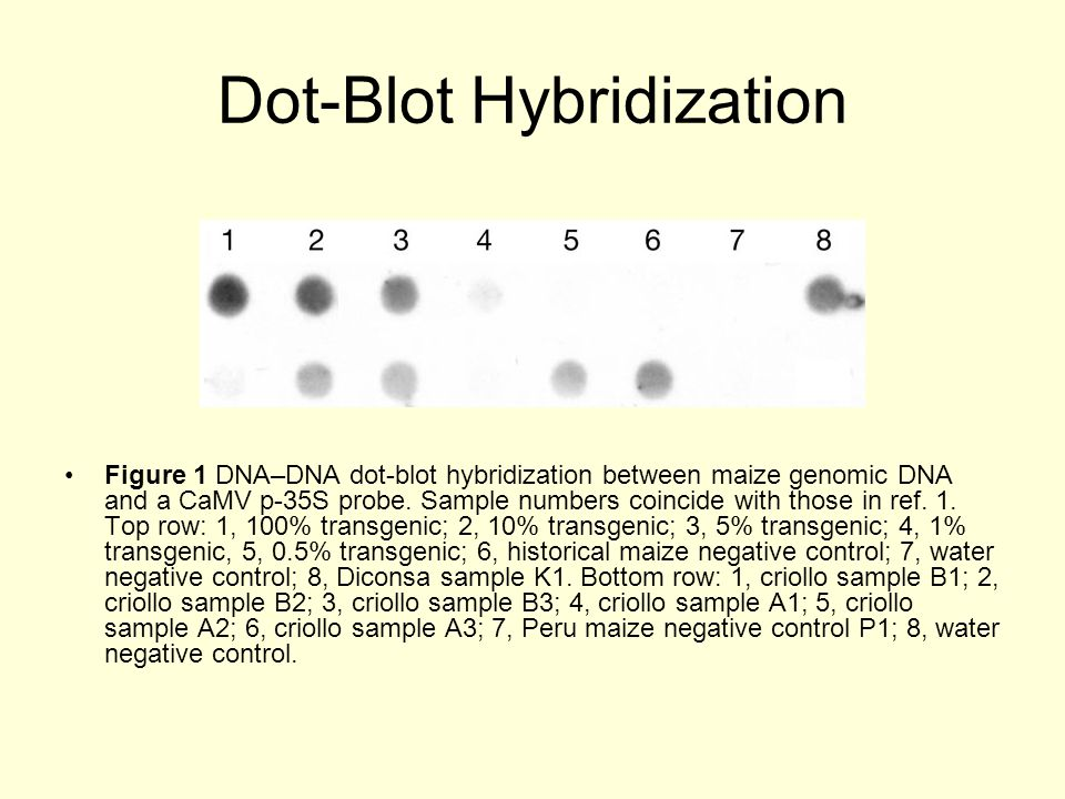 Dot-Blot Hybridization