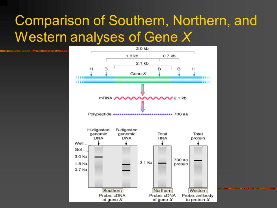 Comparison of Southern, Northern, and Western analyses of Gene X