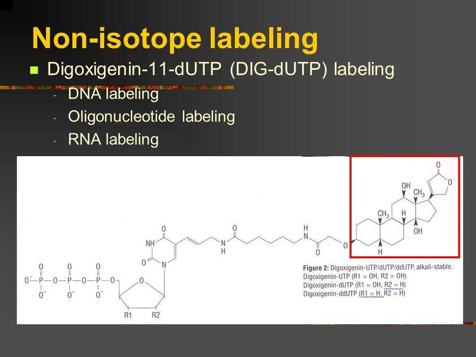 Non-isotope labeling Digoxigenin-11-dUTP (DIG-dUTP) labeling