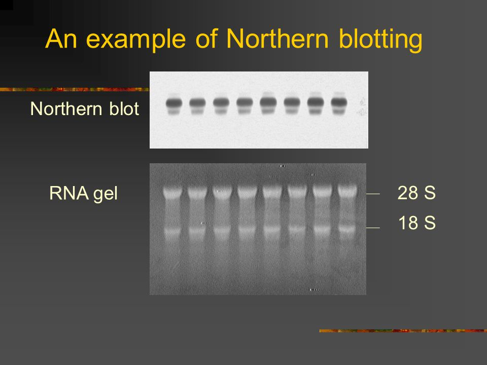An example of Northern blotting