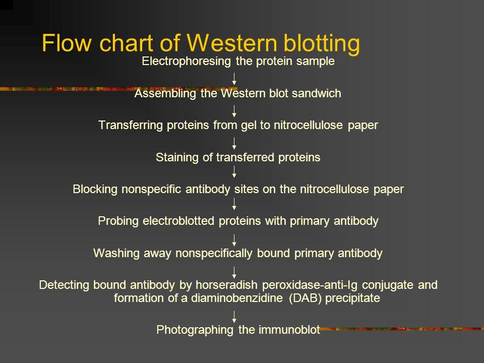 Flow chart of Western blotting