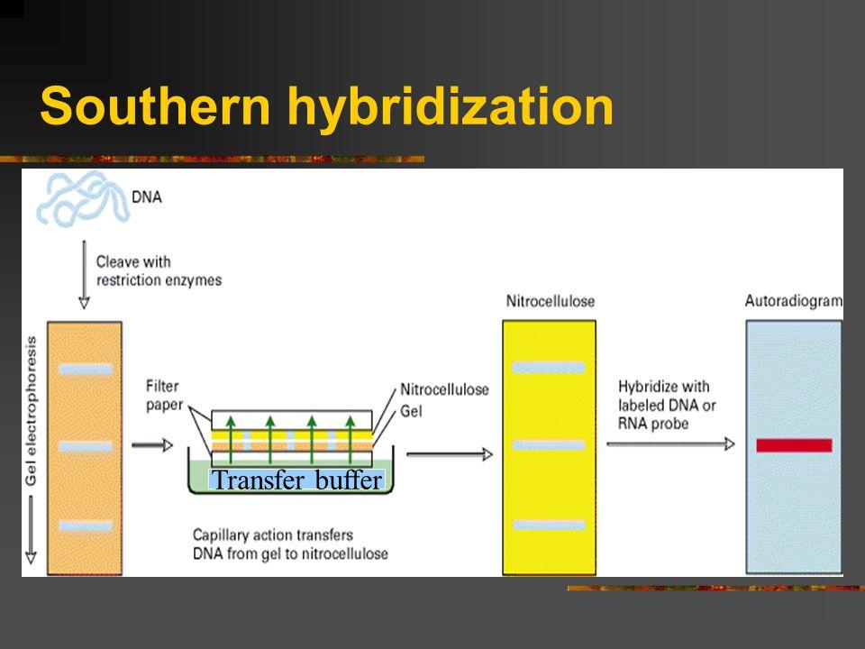 Southern hybridization