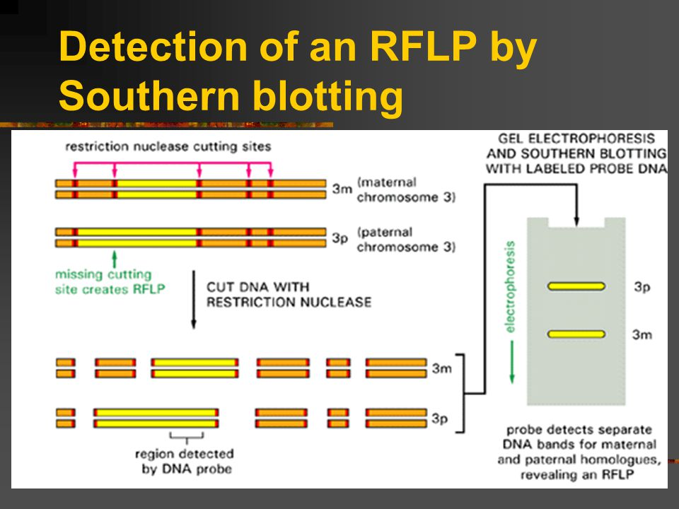 Detection of an RFLP by Southern blotting