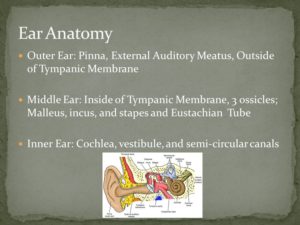 Ear Anatomy Outer Ear: Pinna, External Auditory Meatus, Outside of Tympanic Membrane.