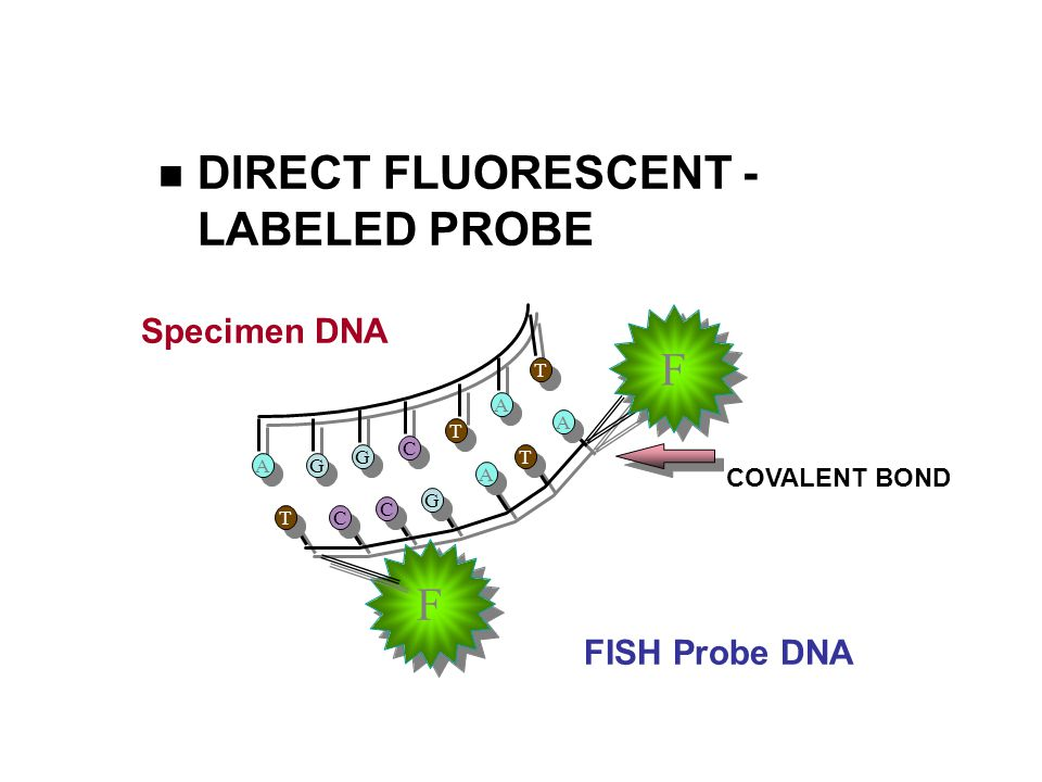 DIRECT FLUORESCENT -LABELED PROBE