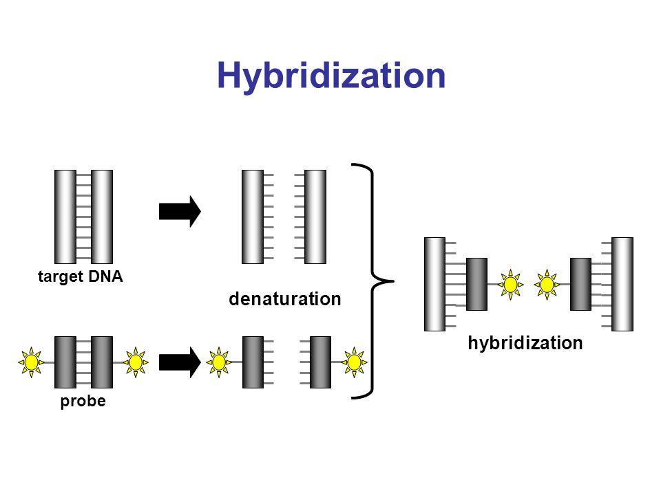 Hybridization target DNA denaturation hybridization probe