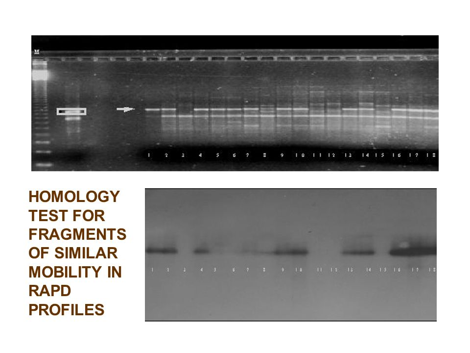 HOMOLOGY TEST FOR FRAGMENTS OF SIMILAR MOBILITY IN RAPD PROFILES