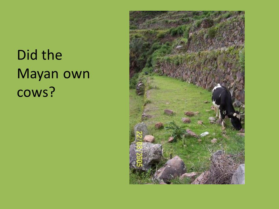 Did the Mayan own cows