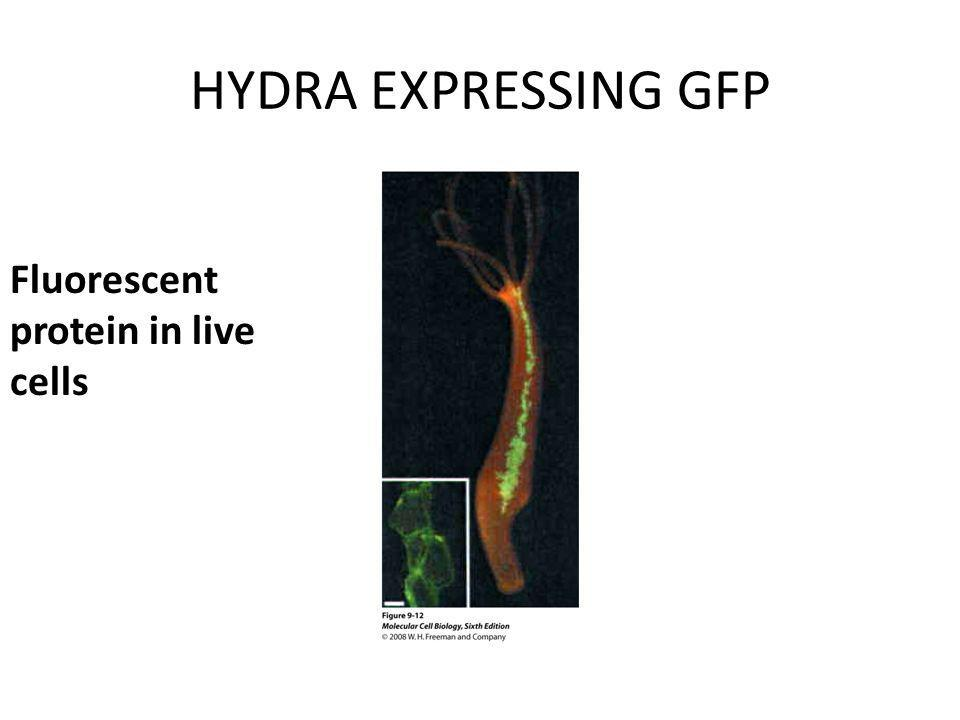 HYDRA EXPRESSING GFP Fluorescent protein in live cells Fura-2
