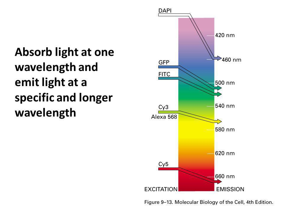 Absorb light at one wavelength and emit light at a specific and longer wavelength