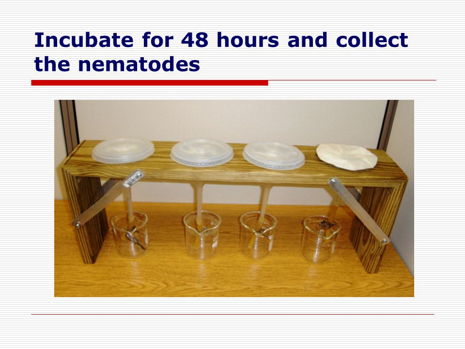 Incubate for 48 hours and collect the nematodes