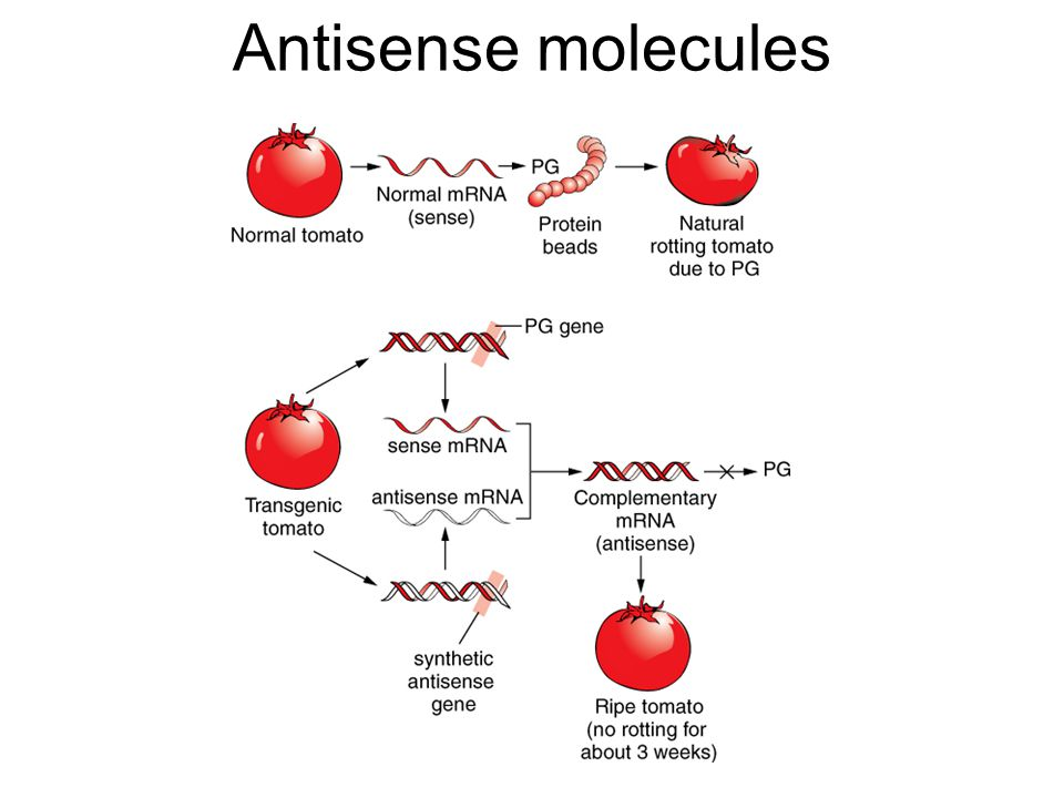 Antisense molecules -- Enzyme polyglacturonase (PG) digests pectin in the wall of the plant.