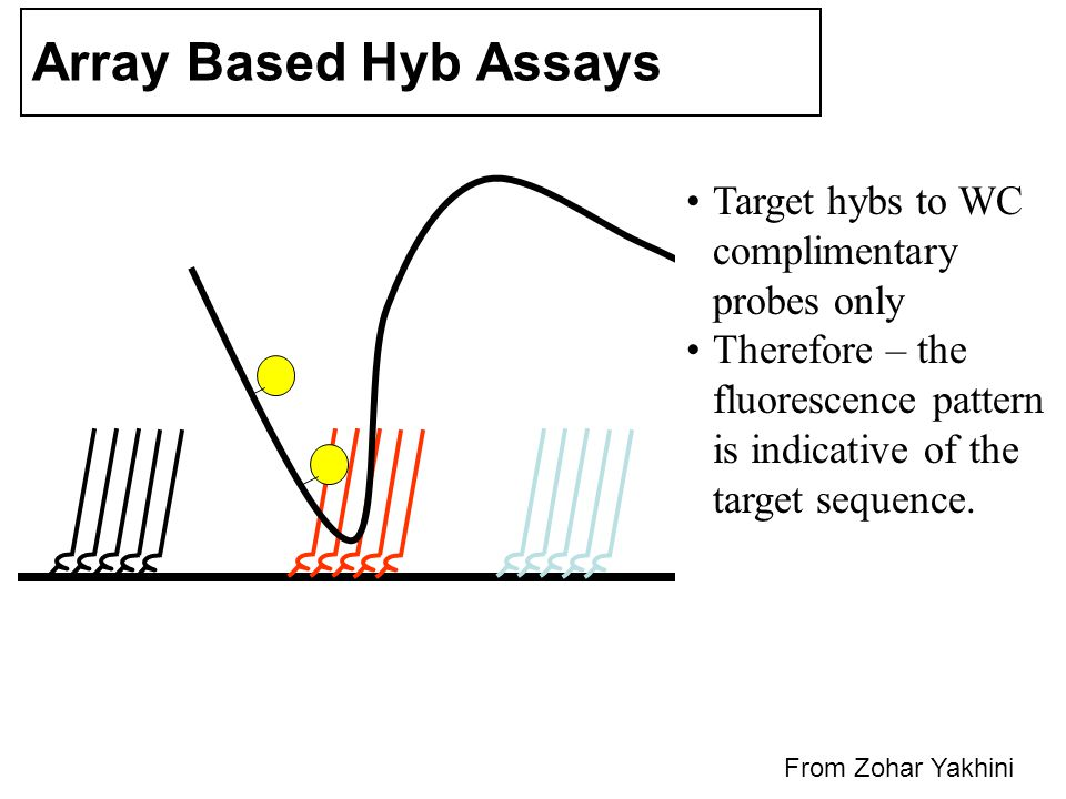 Array Based Hyb Assays Target hybs to WC complimentary probes only