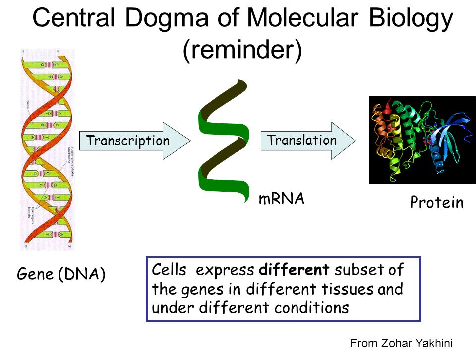 Central Dogma of Molecular Biology (reminder)