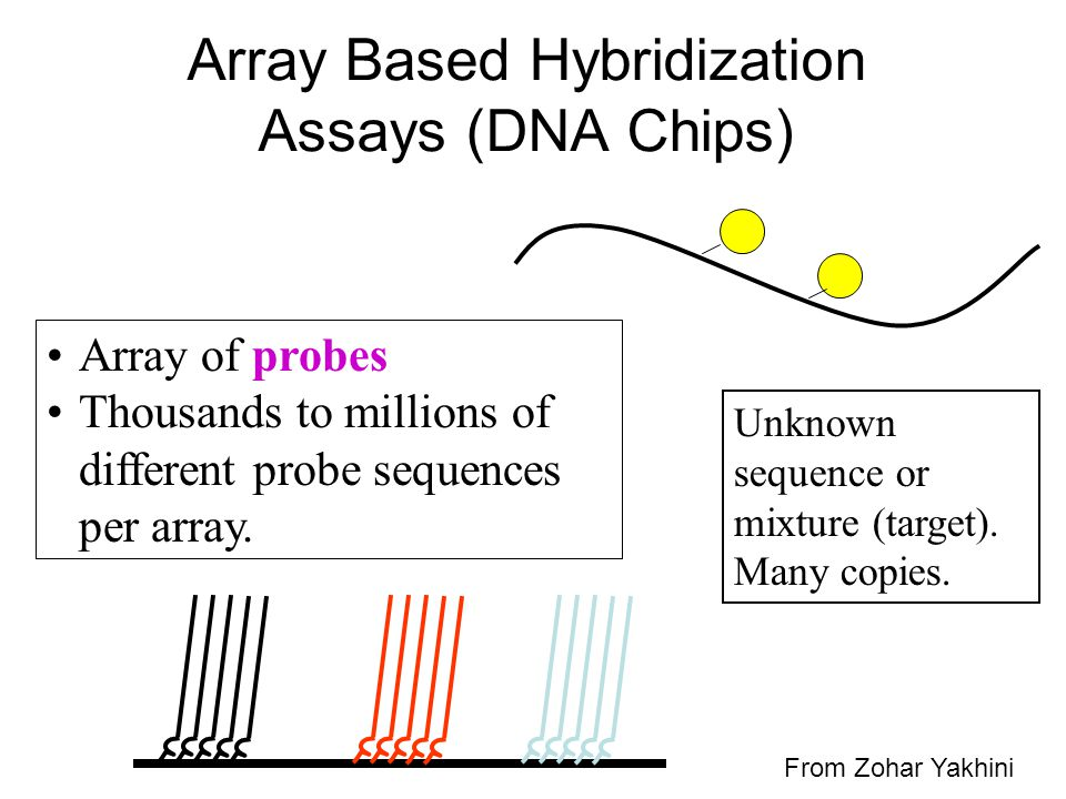 Array Based Hybridization Assays (DNA Chips)
