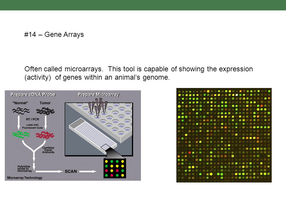 #14 – Gene Arrays Often called microarrays.