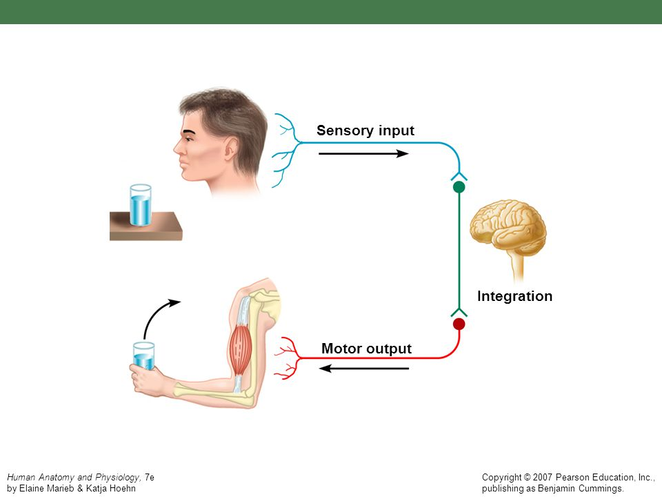 Sensory input Integration Motor output